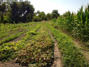 Garden Rows Of Strawberries, Melons And More